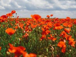 fält av röda vallmo. blommor röda vallmo blommar på vilda foto
