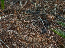 orm i det tjocka torra gräset. huggorm i skogen foto
