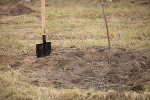 planta träd redo för plantering i stadsparken, begreppet landskapsarkitektur av territoriet foto