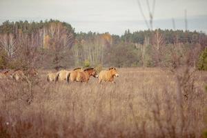 grupp av vilda przewalskis hästar i Tjernobyl-uteslutningszonen som betar på hösten foto