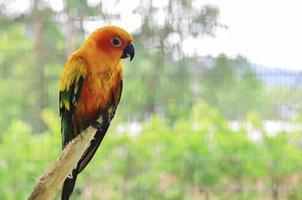 sun conure papegoja fåglar på grenen foto