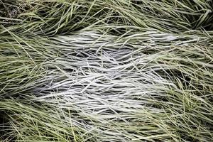 fryst gräs på vintern foto