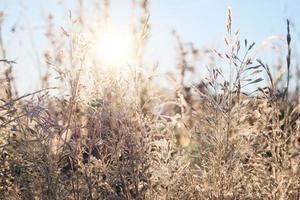 gräs i frosten. frost på gräset i morgonsolen. vinter naturlig växt bakgrund foto