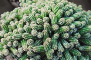 kaktus i öknen, kaktus på klippa, kaktus natur grön bakgrund, kaktusträd foto