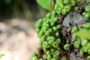 grön fikonfrukt på träd i Thailand foto