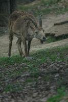 siberian ibex på rock foto
