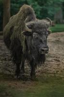 porträtt av amerikansk bison foto