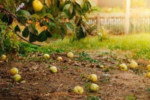 fallna äpplen ligger på marken, en ny gröda i solen foto