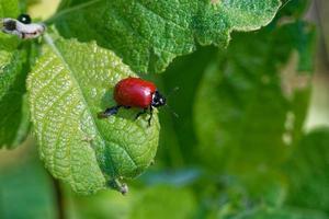 chrysomela populi är en art av bredskaliga skalbaggar foto