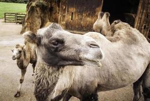 öken kamel djur foto