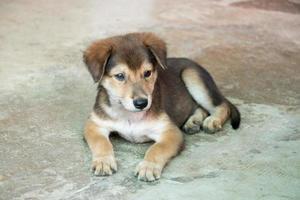 brun vit hybridhund som ligger på betonggolv foto