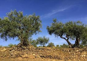 mycket gamla olivträd i Portugal foto