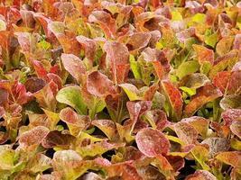 närbild av sallad grönsak plantage i ett grönt hus i en ekologisk gård foto
