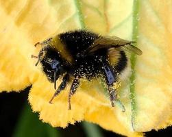 bevingat bi flyger långsamt till växten, samlar nektar för honung på privat bigård foto