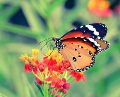 fjäril på orange blomma foto