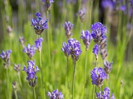närbild av lavendelblommor i en trädgård foto
