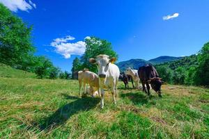 betande kor på de italienska alperna på sommaren foto