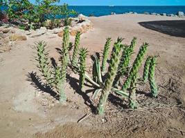 grön kaktus på stranden i Hurghada City, Egypten foto