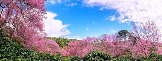 blomning av vild himalayan körsbär, prunus cerasoides eller jätte tiger blomma. foto