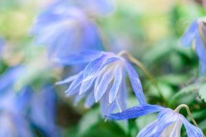 vackra blå blommor mot bakgrund av gröna växter. sommar bakgrund foto