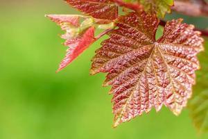 vackert blad av druvor i sommarträdgården mot bakgrund av gröna växter foto