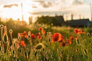 vackra röda vallmo i defokus på ett vackert sommargrönt fält foto
