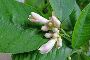 citronblommor med gröna blad foto