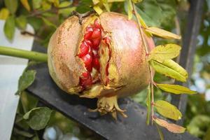 röd granatäpplefrukt foto