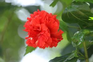 röd hibiskusblomma i trädgården foto