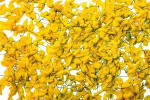 gul blomma på isolerad vit bakgrund, javanesiska kassiablommor foto