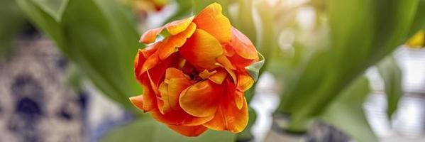 gul-röd tulpan i en vas i trädgården. vår. blomma. foto