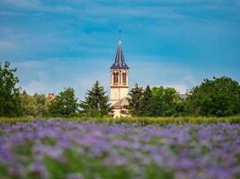 fält av lila blommor i Frankrike foto