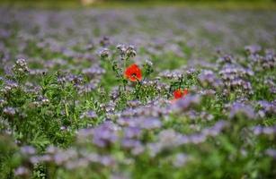 blommande vallmo i fältet av lila blommor i Frankrike foto