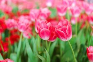 vackra röda tulpaner, blomma bakgrund foto