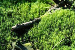 mossmark i naturreservatet fischbek ljung foto