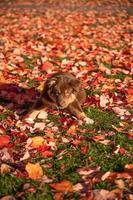 porträtt brun australisk herdehund med heterokromi tittar på kamerans linser som sitter på gräset i en offentlig park i en vacker hösteftermiddag foto