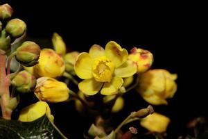 blomma blomning berberis aquifolium familj berberidaceae närbild foto