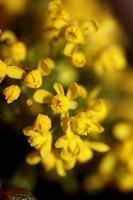 blomma blommar berberis aquifolium familj berberidaceae närbild ut foto