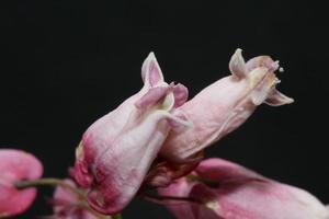 blomma blommar närbild dicentra formosa familj papaveraceae foto