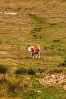 ko står och betar på gräsbevuxen åker, solig dag foto