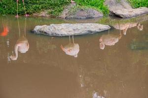 röda flamingos reflektion i en sjö med land färg vatten. foto