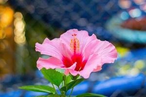 rosa hibiskus med gröna blad foto
