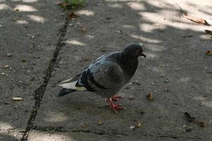 djurliv, en duva går på marken på jakt efter mat. foto