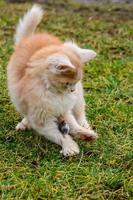 en röd katt fångade en mullvad, landsbygden och djur och gnagare. foto