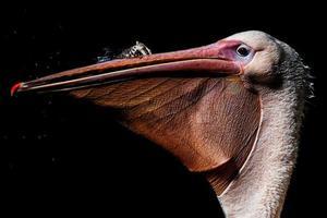 vit pelikan detalj porträtt på vattnet foto
