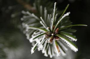 tallnålar barrträdsnålar med snö i vintercloseupen foto
