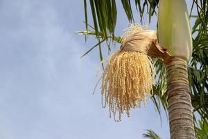 blomma av kokospalmen i Santa Catarina, Brasilien foto