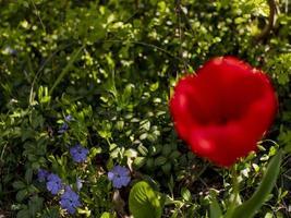 röd tulpan på grönt gräs bakgrund. första vårblommor foto