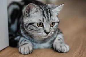 grå brittiskt kort hår katt foto