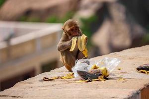 rhesus macaque apa, apa sitter på väggen och äter banan foto